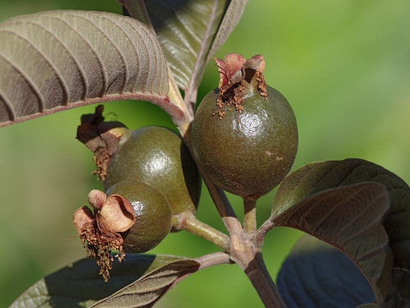 Red Malaysian Guava